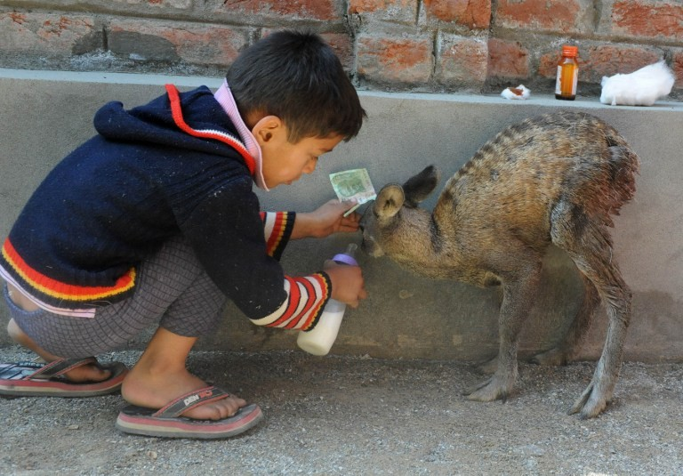 A Kashmiri boy feeds an injured young Hangul Deer in a suburb of Srinagar on October 24, 2012. Credit: Rouf Bhat/AFP